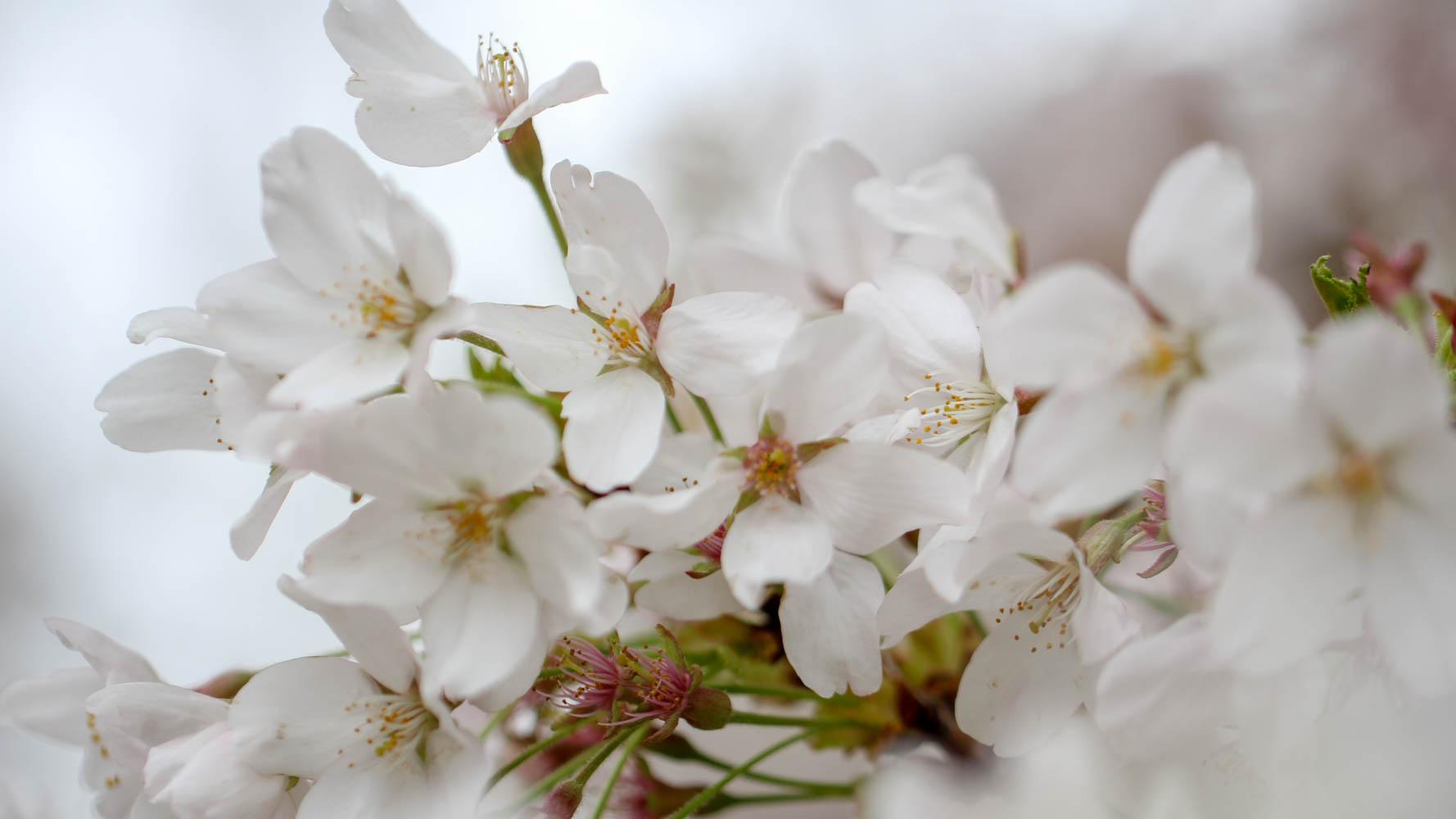 The Cherry Blossom Festival Norah Alhareky Photography Sp18