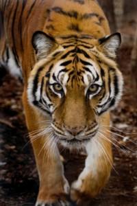Tia Tiger, via The Conservator's Center of North Carolina
