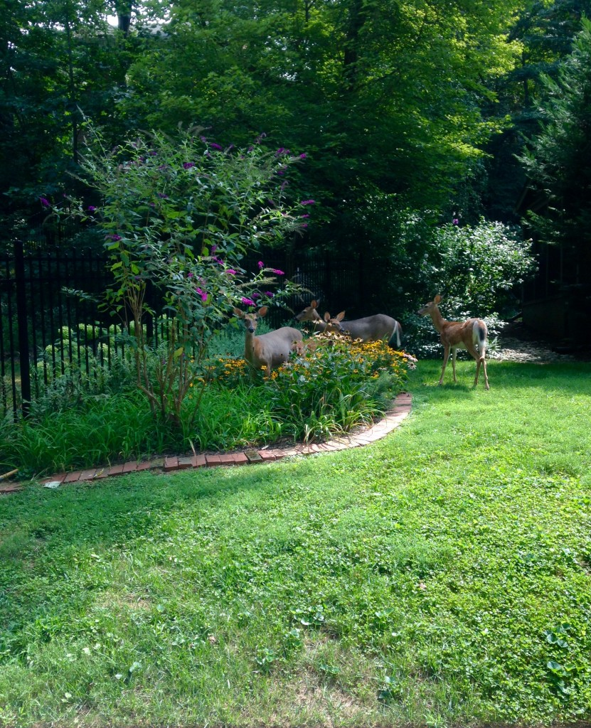 Family of white tailed deer eating a flower bed.